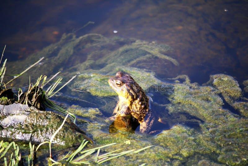 晒日光浴的青蛙 库存照片