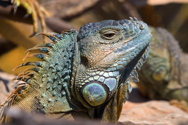 晒日光浴的鬣鳞蜥 库存图片