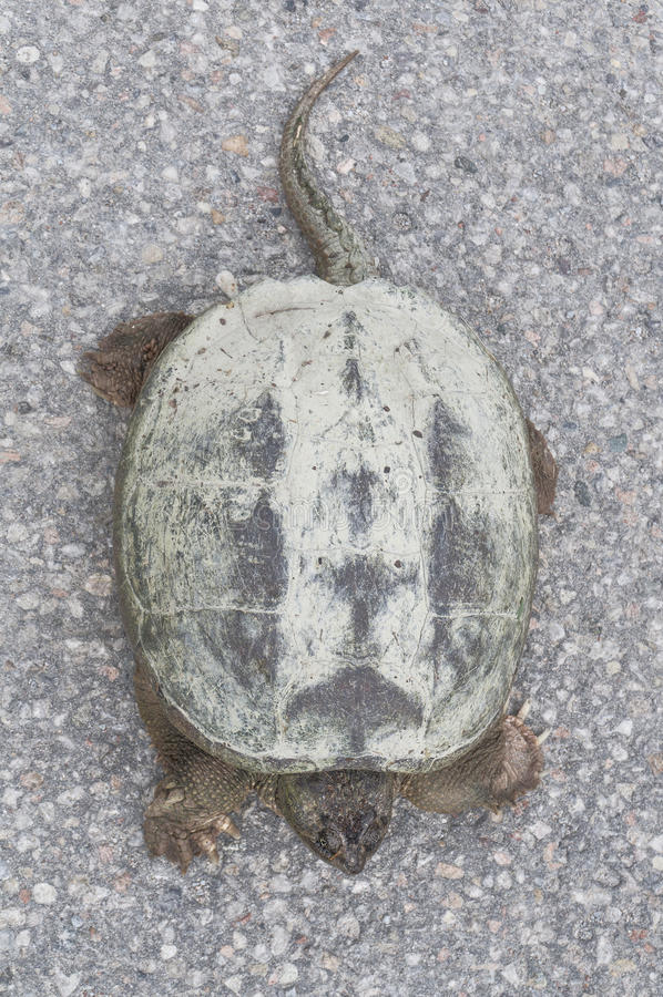 晒日光浴在混凝土路,顶视图特写镜头的共同的鳄龟 库存图片