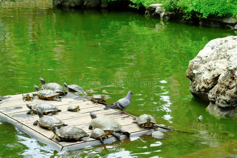 晒日光浴在Wat Prayoon Wongsawat池塘的乌龟  免版税图库摄影