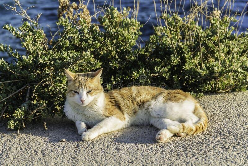 晒日光浴接近海的猫 库存照片