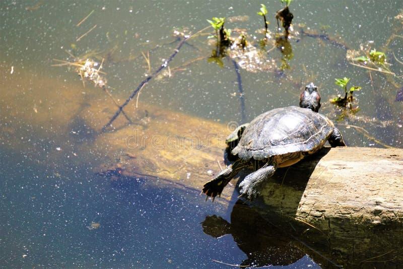 晒黑的鳄龟在日志 图库摄影