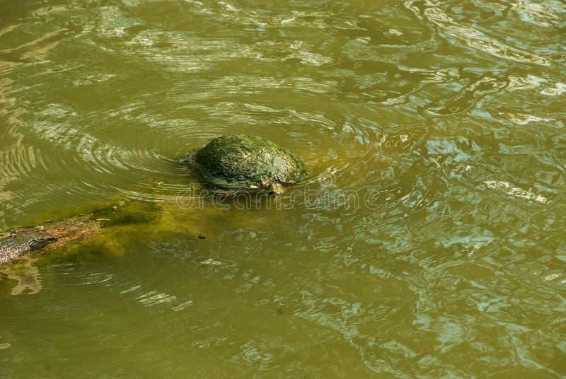 晒黑在一个小池塘的龟盒 免版税库存照片