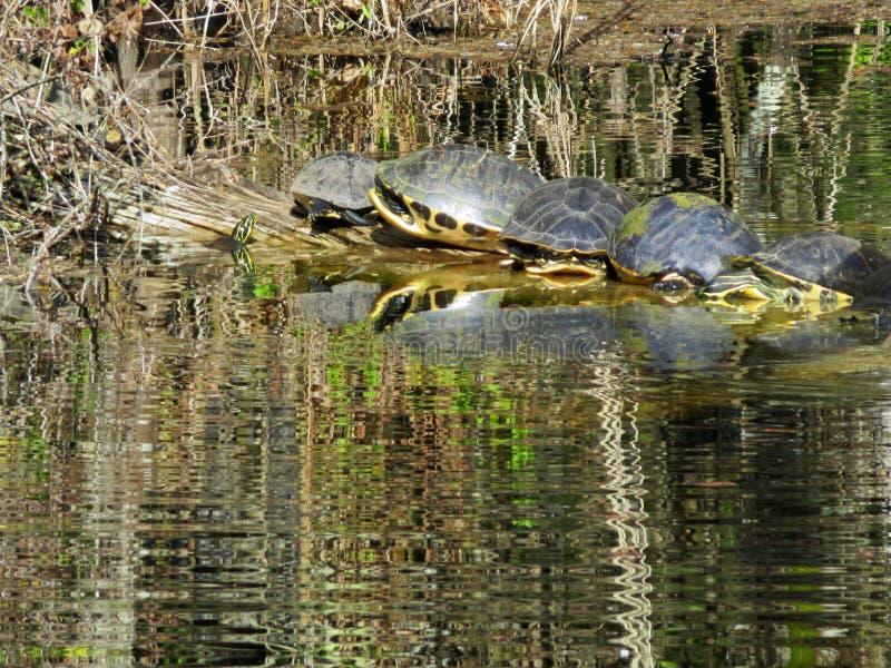 晒黑在laog的乌龟 免版税图库摄影