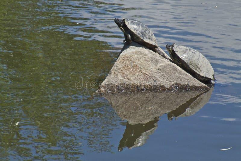 晒黑的一个对乌龟在一个热的夏日 库存图片