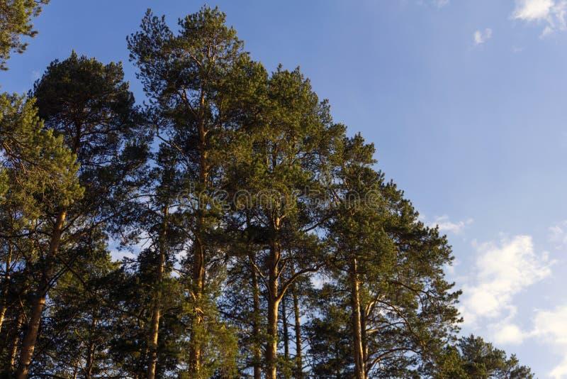晚上在杉木森林里 免版税库存图片
