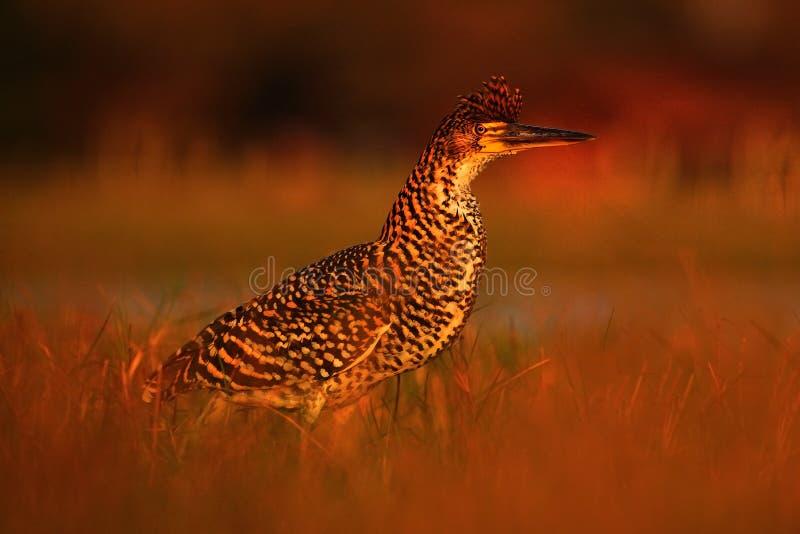晚上太阳,带红色老虎苍鹭, Tigrisoma lineatum,与平衡光的motteled鸟,在自然栖所,潘塔纳尔湿地,增殖比 免版税库存照片