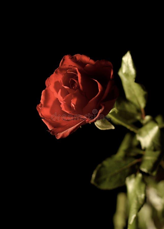 晚上玫瑰色冬天 免版税库存图片