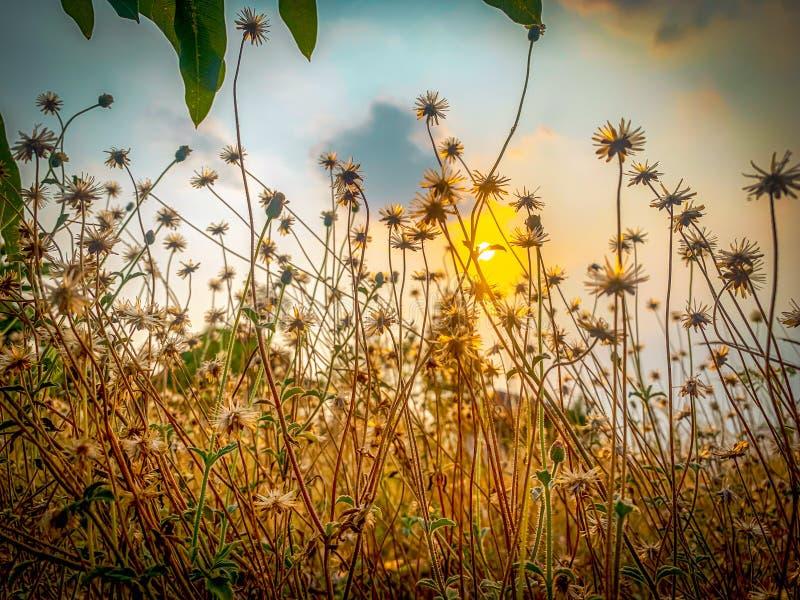 晚上的草和太阳花 免版税库存照片