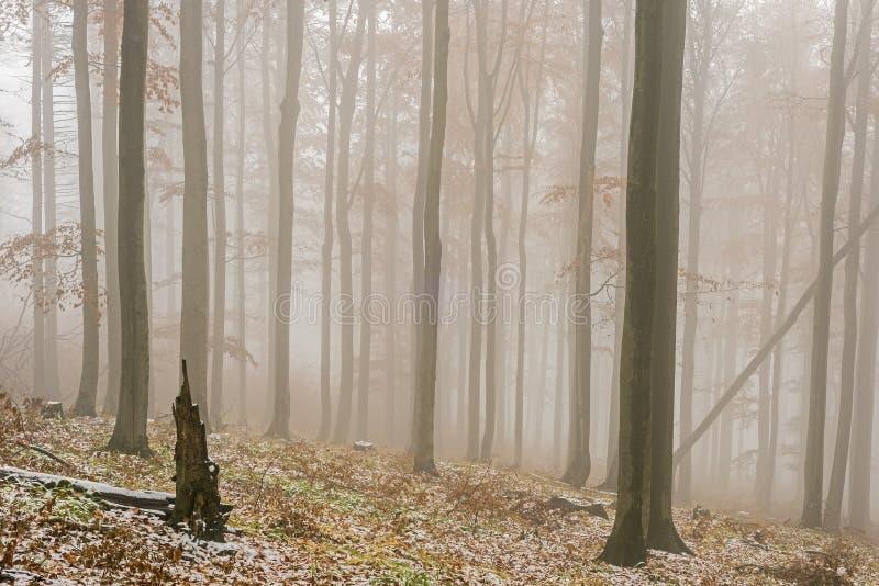 晚秋天多雪的山毛榉森林 库存照片