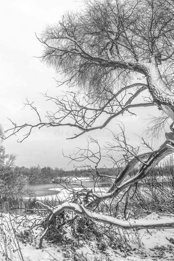 晚秋天黑白风景与一棵老杨柳的在一个冻湖的积雪的银行 库存照片