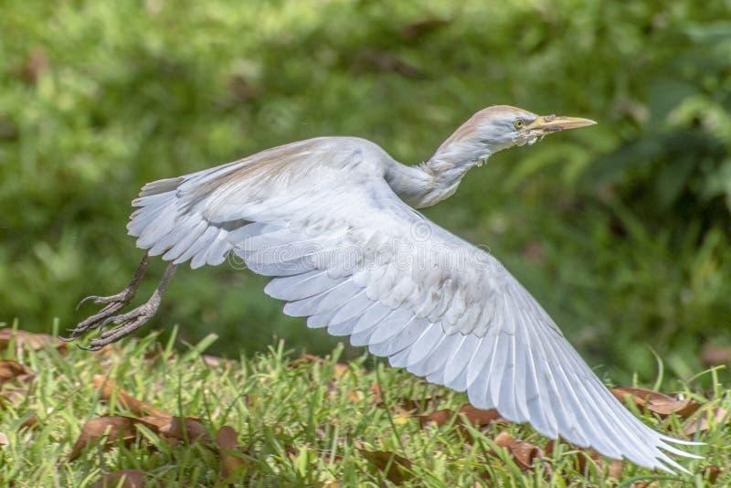 晨曲伟大的白色白鹭的白鹭属画象在飞行中 免版税库存图片