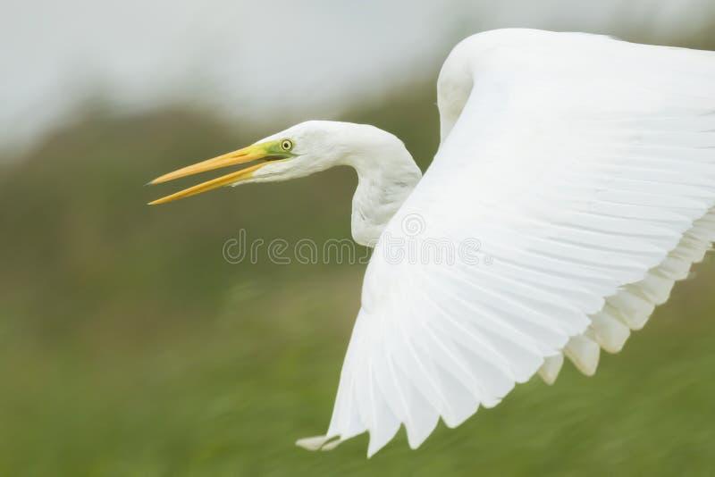 晨曲伟大的白鹭的Ardea在飞行中 库存照片