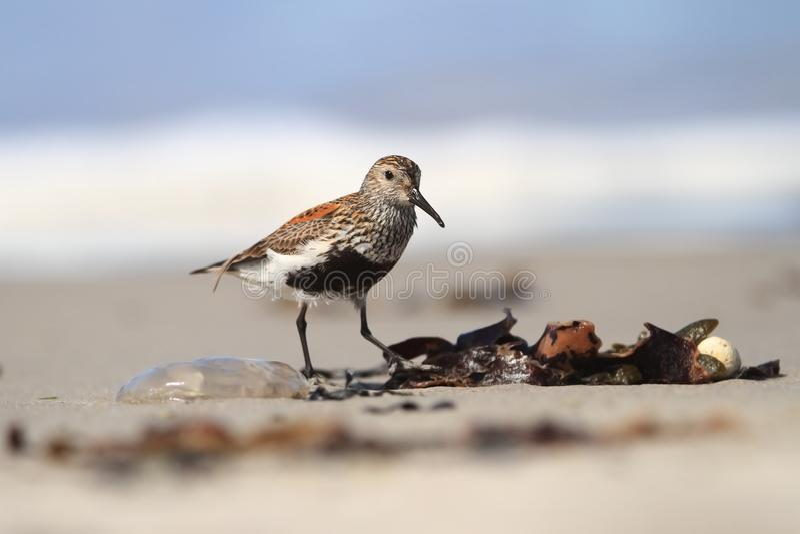 晨曲的Calidris 北海的狂放的本质 在海滩的鸟由海 免版税库存图片