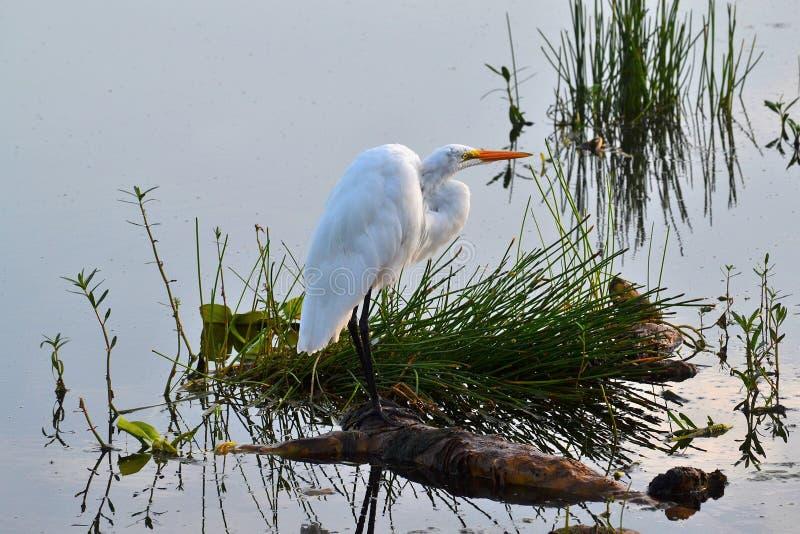 晨曲)站立在日志的伟大的白鹭(Ardea 免版税库存图片