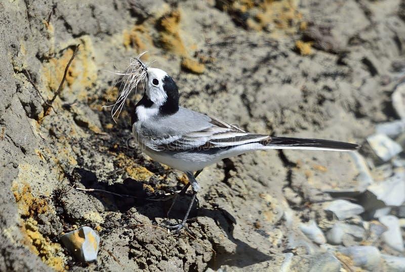 晨曲motacilla令科之鸟白色 库存图片