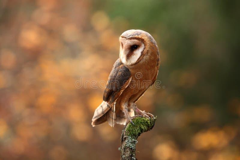 晨曲tyto 秋天蓝色长的本质遮蔽天空 E 在秋天自然的猫头鹰 免版税库存图片