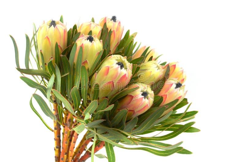 普罗梯亚木花束 在白色背景的开花的绿色国王普罗梯亚木厂 极端特写镜头 节日礼物,花束,芽 一是 免版税库存照片