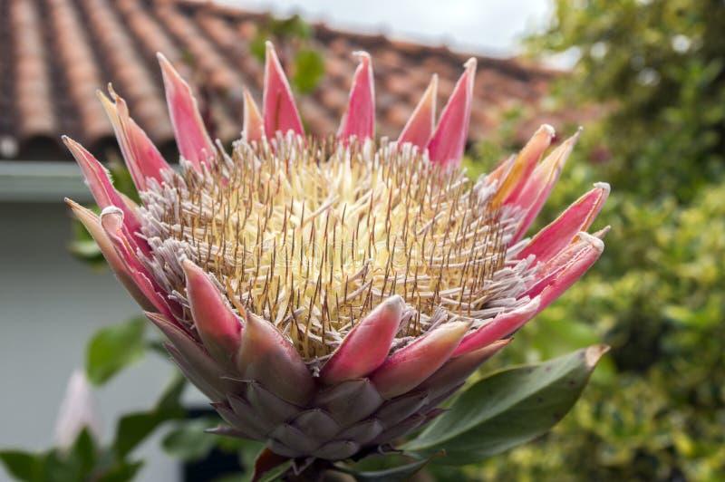 普罗梯亚木cynaroides也叫在绽放的国王普罗梯亚木与惊人的大花 免版税库存照片