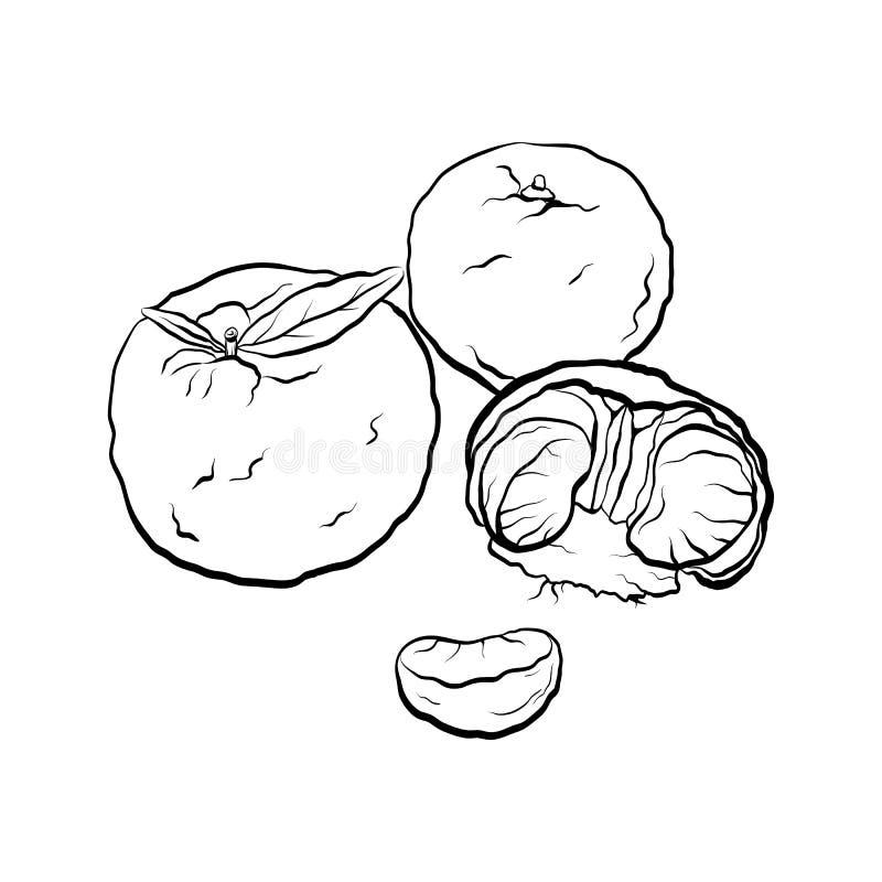 普通话的等高黑白动画片例证 柑橘 库存例证