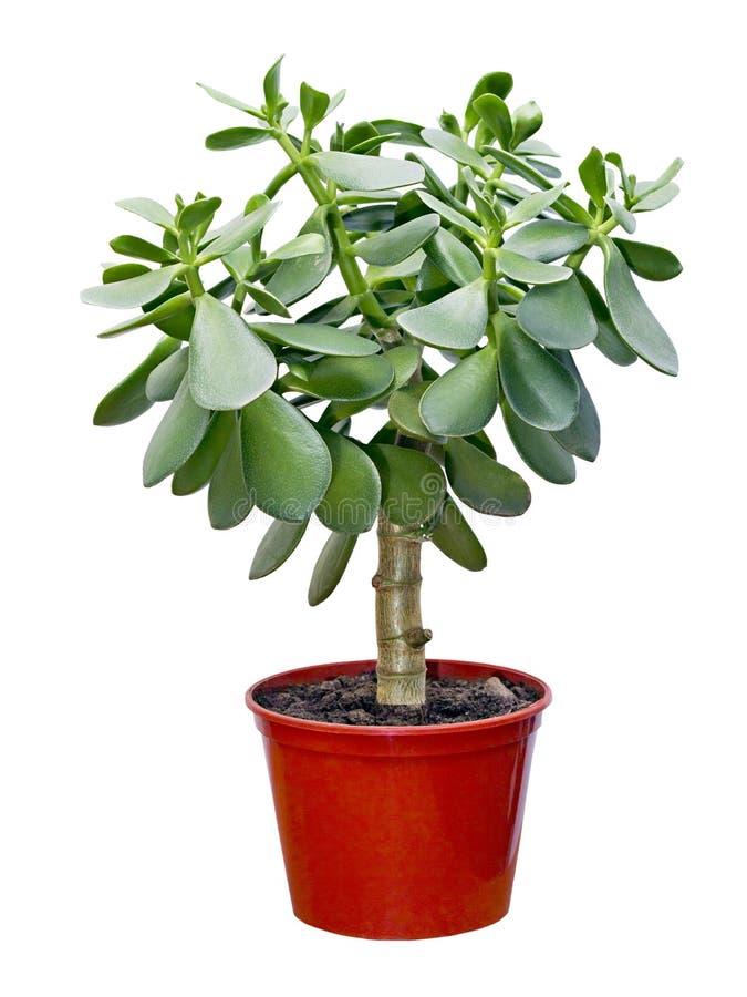 景天树室内植物罐红色 免版税图库摄影