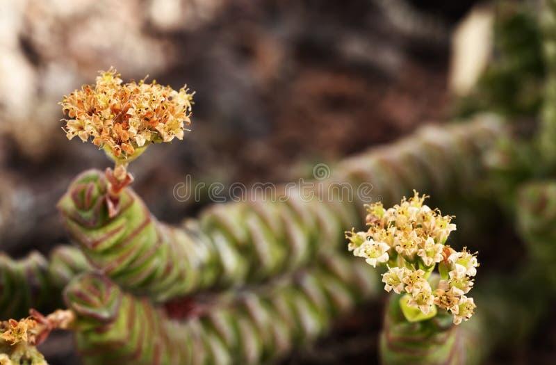 景天树植物花  免版税图库摄影