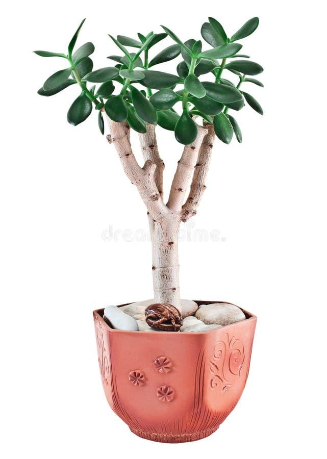 景天树ovata或玉植物花盆的 免版税库存图片