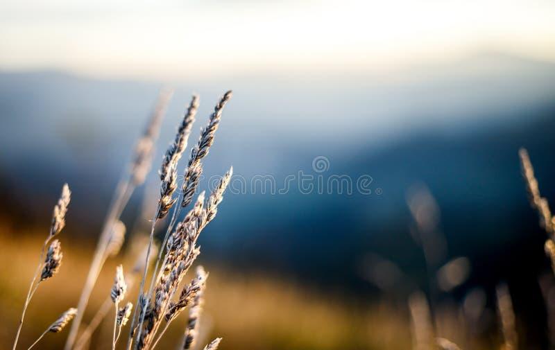 景深自然草甸植物的图片日出的在奥地利阿尔卑斯 免版税库存照片