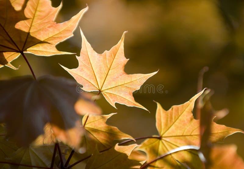 晴朗的叶子 库存图片