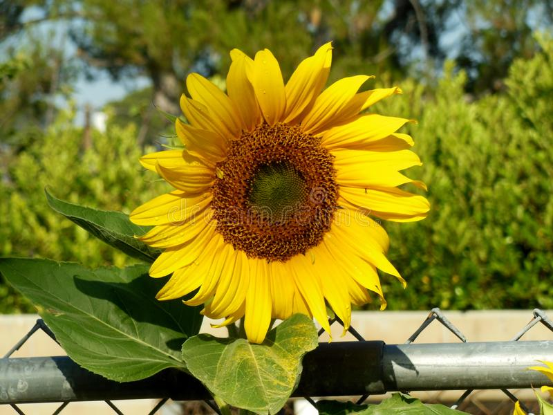 晴朗的向日葵 免版税库存图片