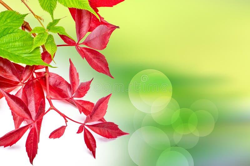 晴朗的抽象绿色自然背景用葡萄离开 免版税图库摄影