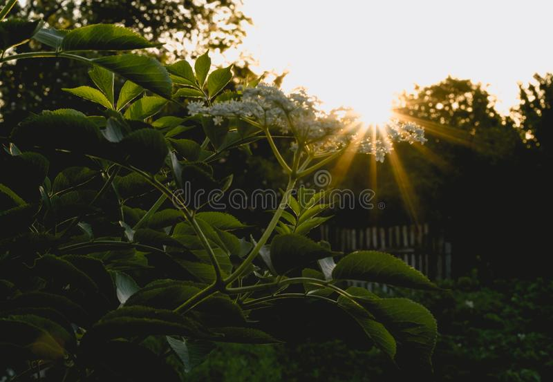 晴朗的春天晚上 开花的接骨木浆果灌木和土气庭院 库存图片