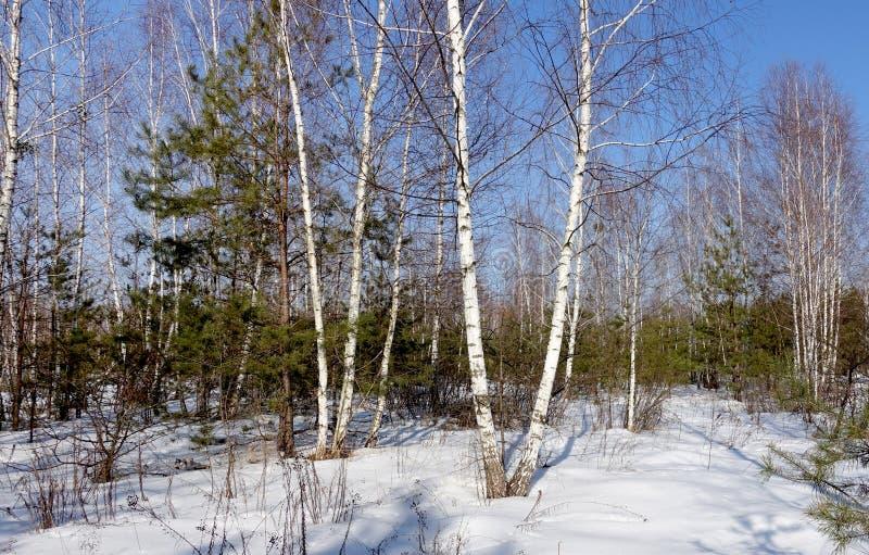 晴朗的春天桦树树丛 免版税库存照片