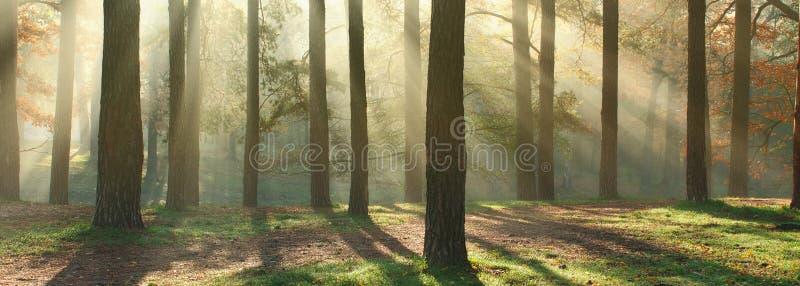 晴朗的森林全景 免版税库存照片