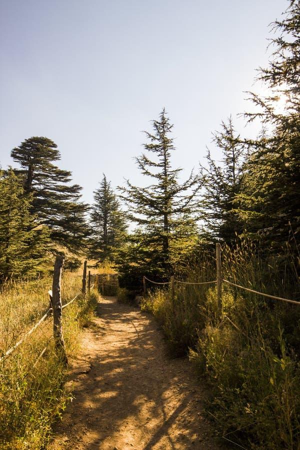晴朗的雪松森林-黎巴嫩 免版税图库摄影