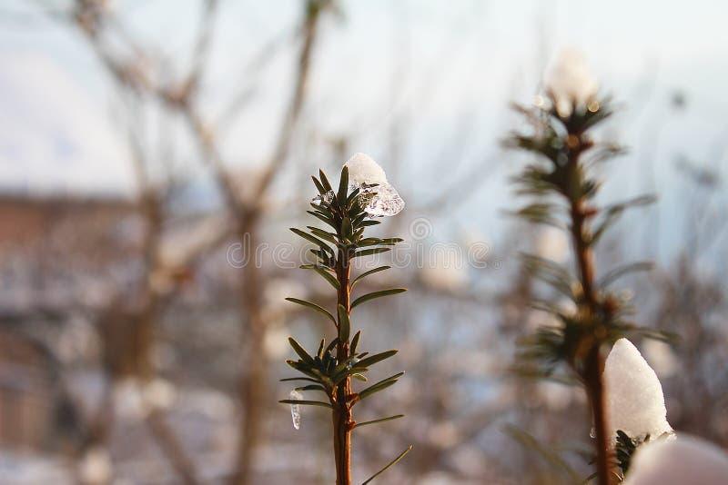 晴朗的雪的罗斯玛丽 库存照片