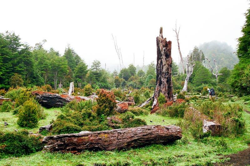 智利森林雨 库存照片