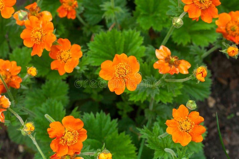 智利水杨梅属或水杨梅chiloense橙色花成长,顶视图 免版税库存图片
