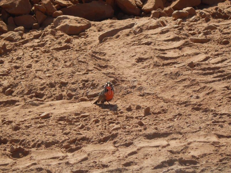 智利红胸鸟 免版税库存照片