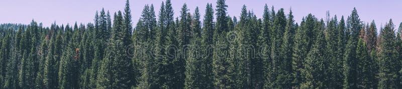 暑假在美国 尤塞米提谷的美丽如画的具球果森林 库存照片
