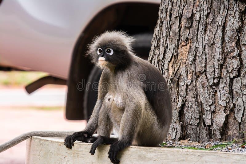 暗淡的叶子猴子在泰国 库存照片