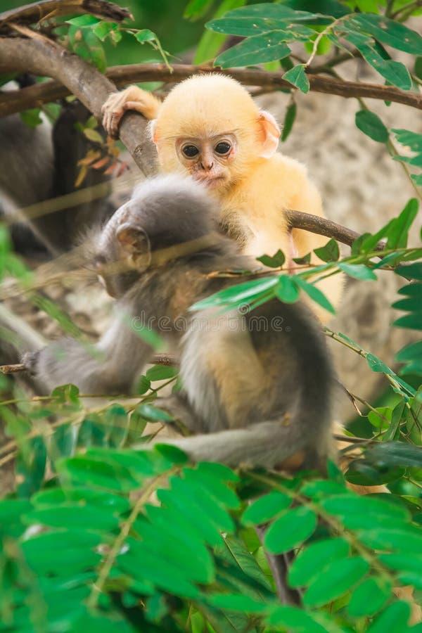 暗淡的叶子猴子在泰国 图库摄影