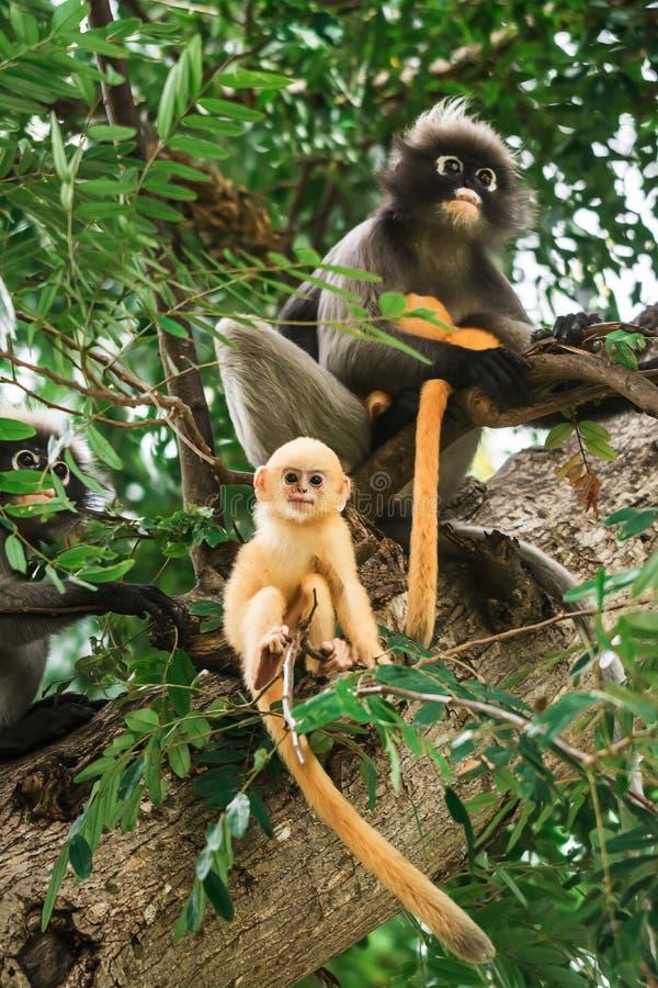 暗淡的叶子猴子在泰国 免版税库存图片