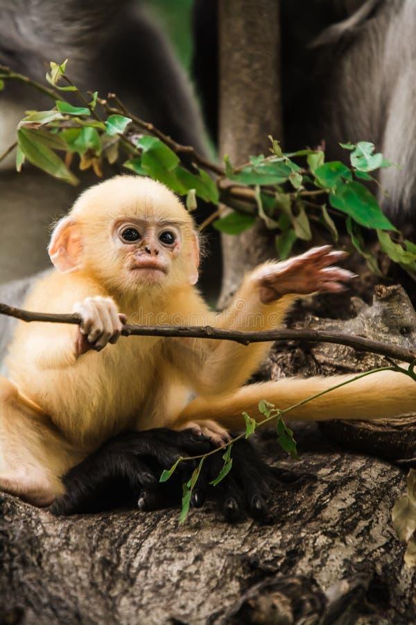 暗淡的叶子猴子在泰国 库存图片