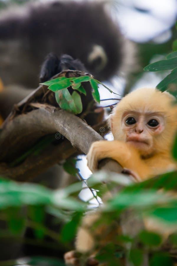 暗淡的叶子猴子在泰国 免版税库存照片
