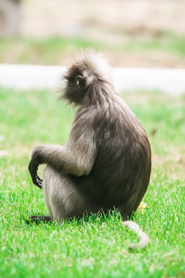 暗淡的叶子猴子在泰国 免版税图库摄影