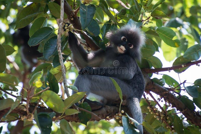 暗淡的叶子猴子 免版税库存图片