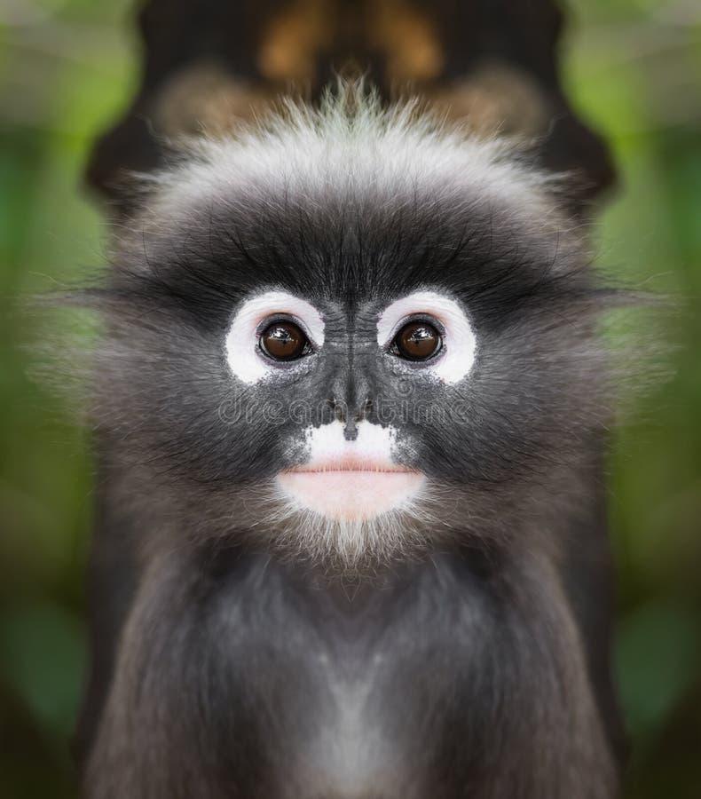 暗淡的叶子猴子面孔关闭 库存图片