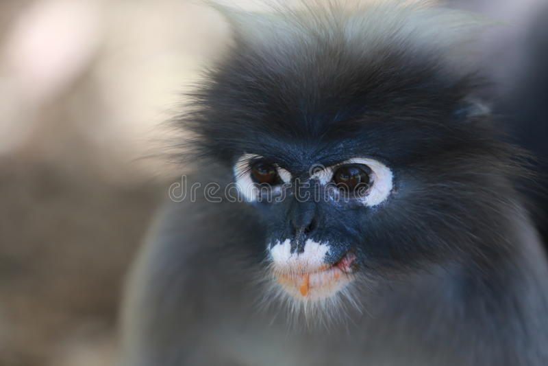 暗淡的叶子猴子 库存照片