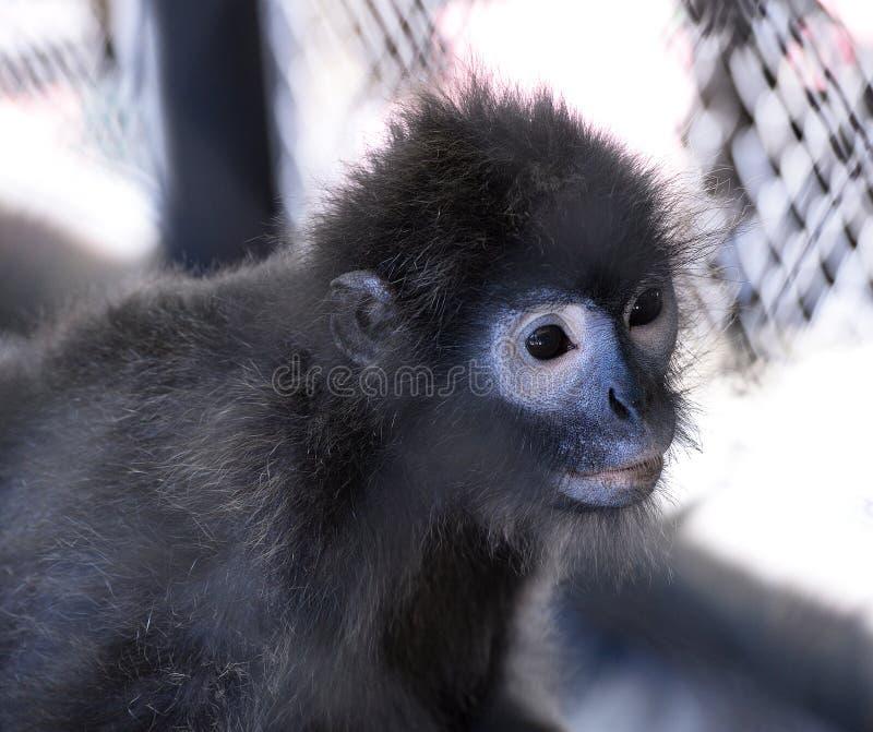 暗淡的叶猴 库存图片